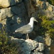 White seagull on rock - Stock Photo