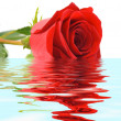 Stock Photo: Rose in water