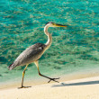 Heron walking on a beach - Stock Photo