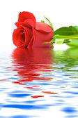 Rose i vatten — Stockfoto
