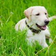 Stock Photo: Resting labrador retriever
