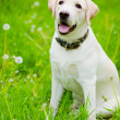Resting labrador retriever — Stock Photo