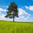 Alone tree in field — Stock Photo
