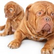 Puppy and dog of Dogue de Bordeaux (French mastiff) — Stock Photo