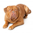 Dogue de Bordeaux (French mastiff) — Stock Photo