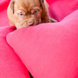 Puppy of Dogue de Bordeaux (French mastiff) — Stock Photo