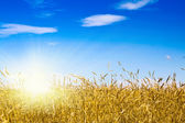 Cornfield in a sunny day — Stock Photo