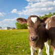 Close up of a young calfs — Stock Photo