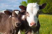 Close up of a young calfs — Stock Photo