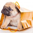 Puppy of pug in bags — Stock Photo #4076575