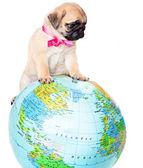 Welpen mops auf globus — Stockfoto