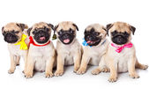 Puppy of pug in bags — Stock Photo