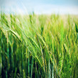 field of wheat — Stock Photo #2805925