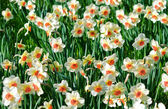 A bunch of daffodils — Stock Photo