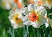 Narcisy. mělké hloubce z poli — Stock fotografie