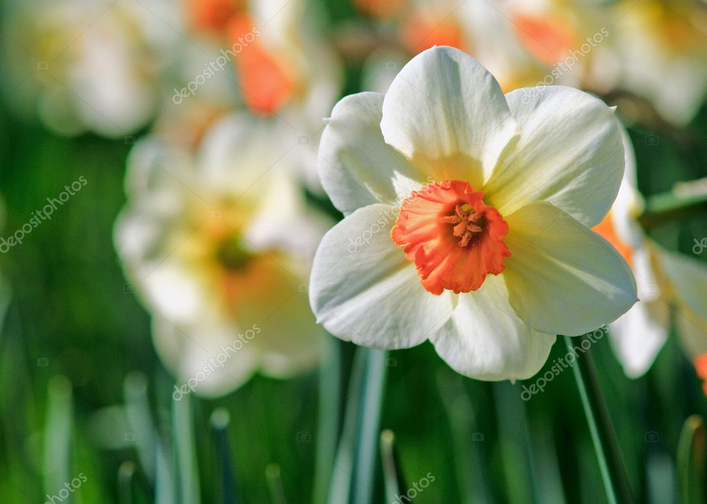 Daffodils. Shallow depth-of-field — Stock Photo #3042192