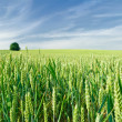 Royalty-Free Stock Photo: Green field of wheat