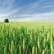 Stock Photo: Green field of wheat