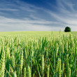 Green field of wheat — Stock Photo