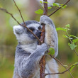 Lemur -  