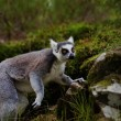 Lemur — Photo