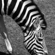 Zebra — Stock Photo #3627220