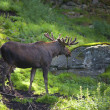Moose — Stock Photo #3627229