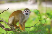 Common squirrel monkey — Stock Photo