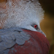 Southern Crowned Pigeon - Stock Photo