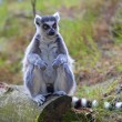 Lemur - Stock Photo