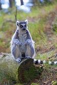 Lemur — ストック写真