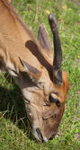 Common Eland — Stock Photo