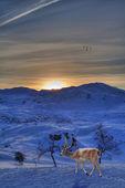 驯鹿 — 图库照片