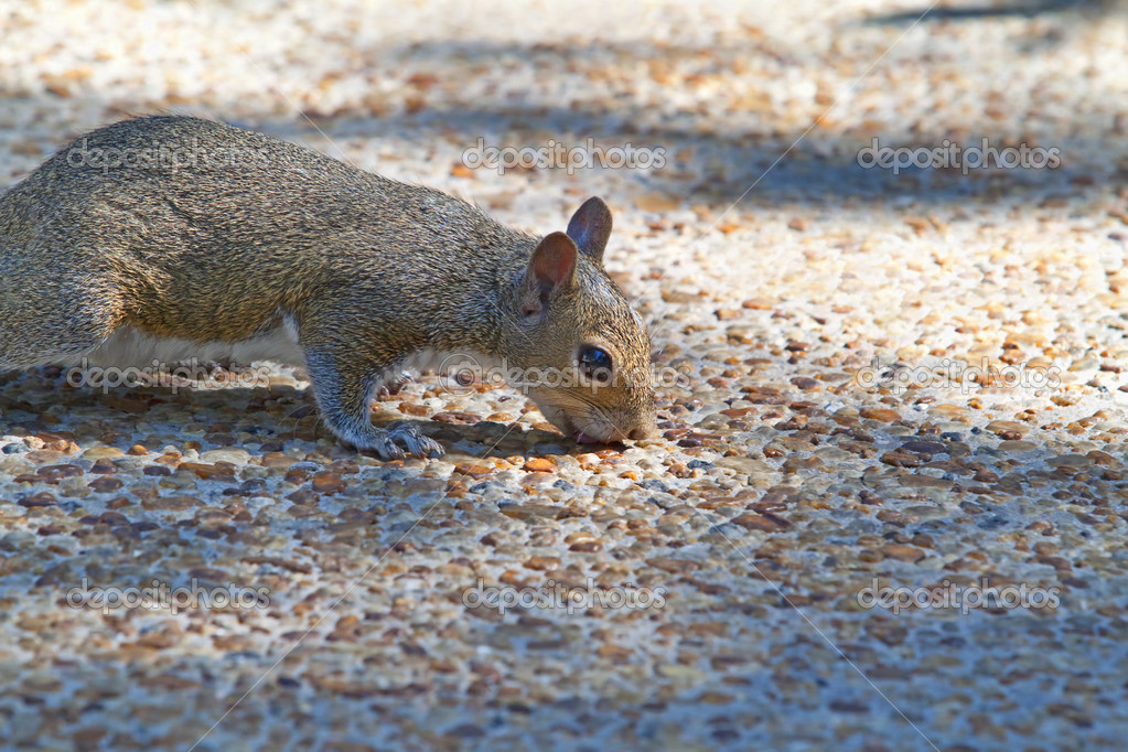 A squirrel licking the ground for something to eat — Stock Photo #3753791