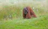 Orangutan — Stock Photo