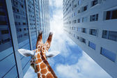 Giraffe in the city — Stock Photo
