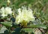 Rhododendron aureum — Stock Photo