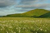 Flowering tundra — Stock Photo