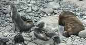 Horth fur seals — Stock Photo