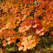 Stock Photo: Maple background