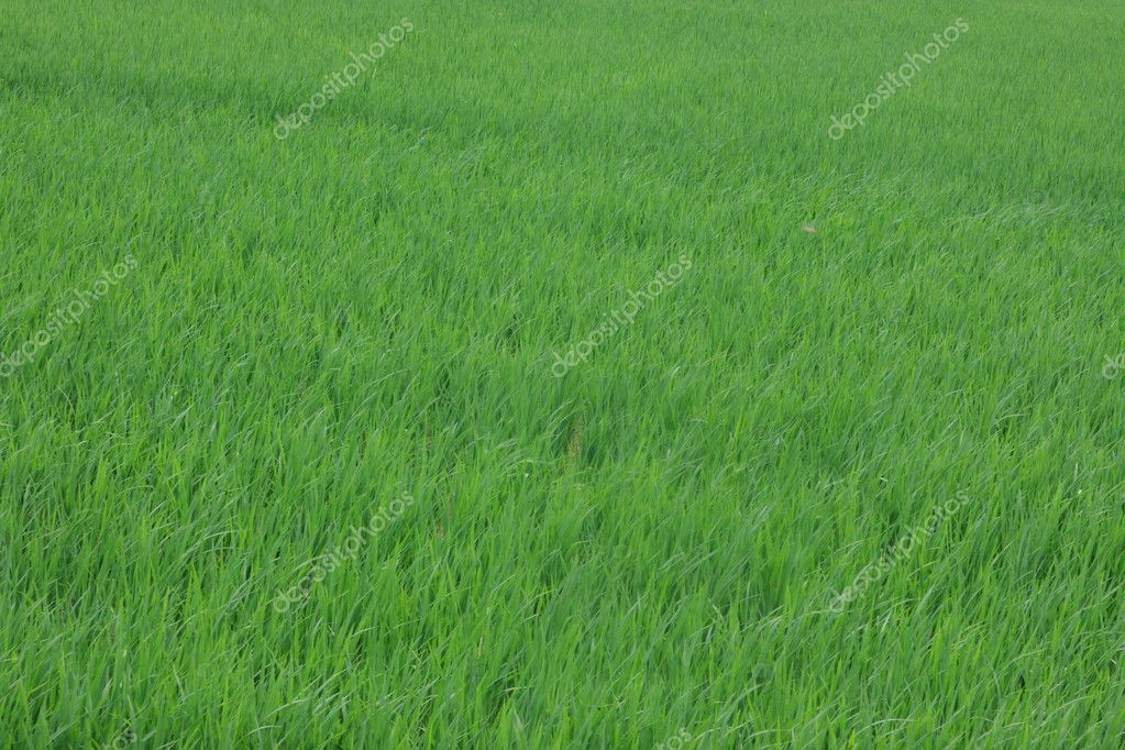 Green grass field — Stock Photo #2921310