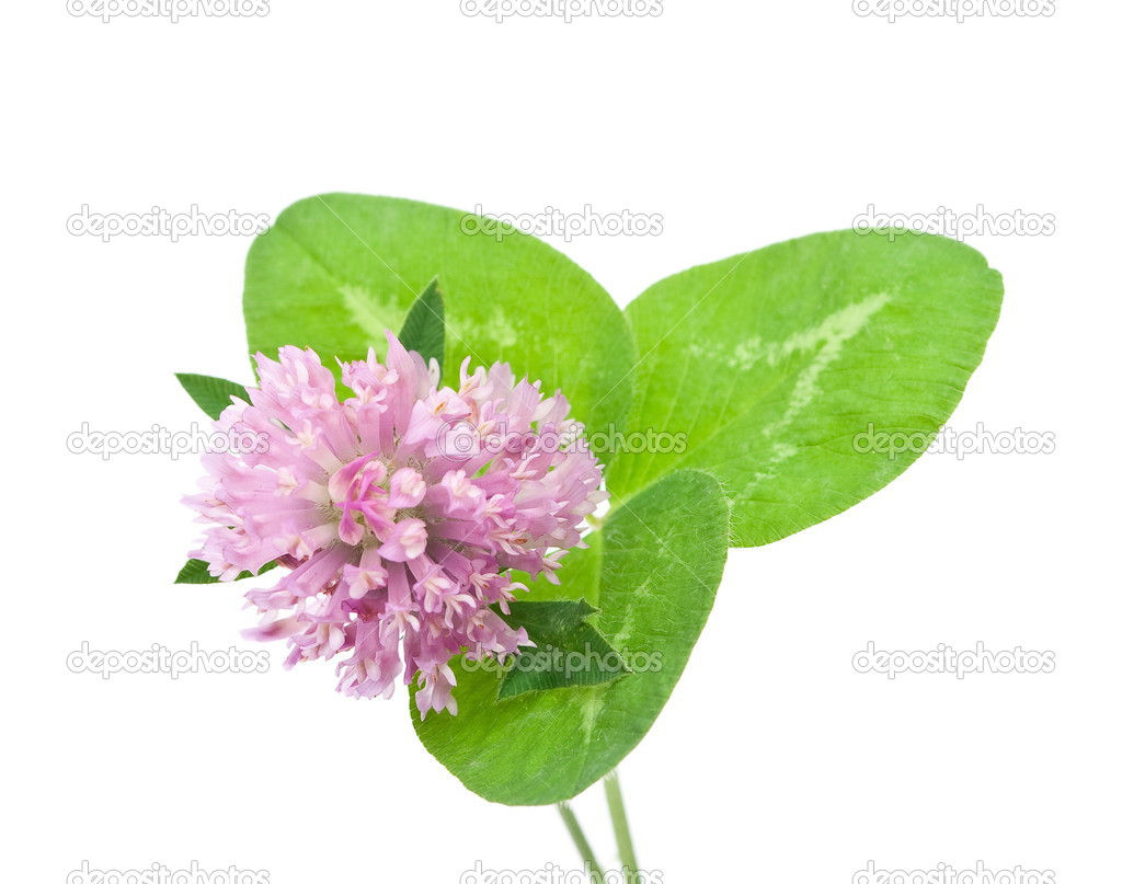 Herbal medicine:Red clover   Stock Photo #3567059