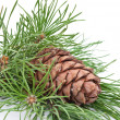 Siberian pine cone with branch — Stock fotografie