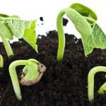 Bean seeds germinating shot — Stock Photo