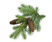 Fir tree branch with cones — 图库照片