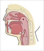 Oral cavity — Stock Vector