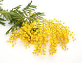 Branch of a mimosa — Stock Photo