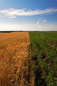 Border between fields of agricultures — Stock Photo
