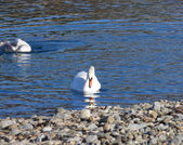 White swan swings on wave — Stock Photo