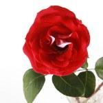 Red rose in vase — Stock Photo #2729236